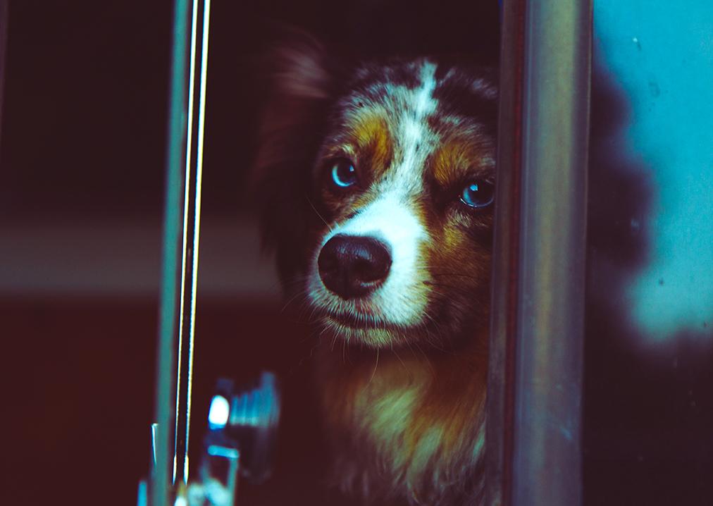 Trastornos emocionales caninos
