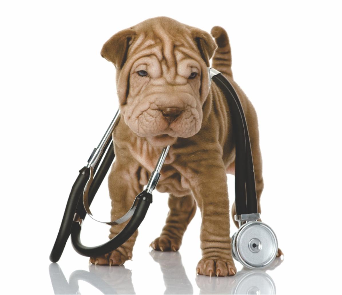 Perrito doctor